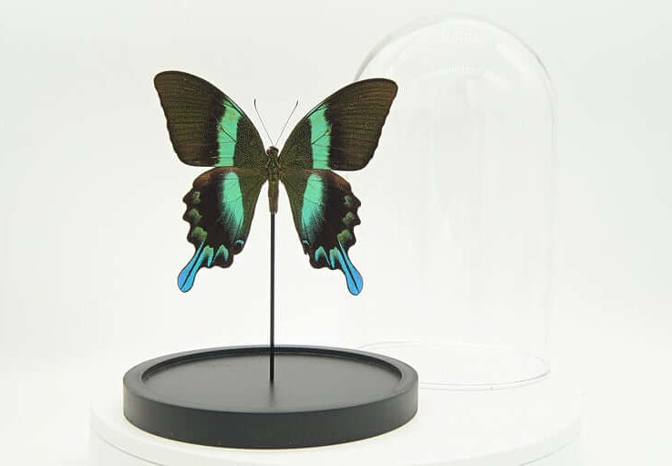 Bell jar with Real Papilio Blumei butterfly