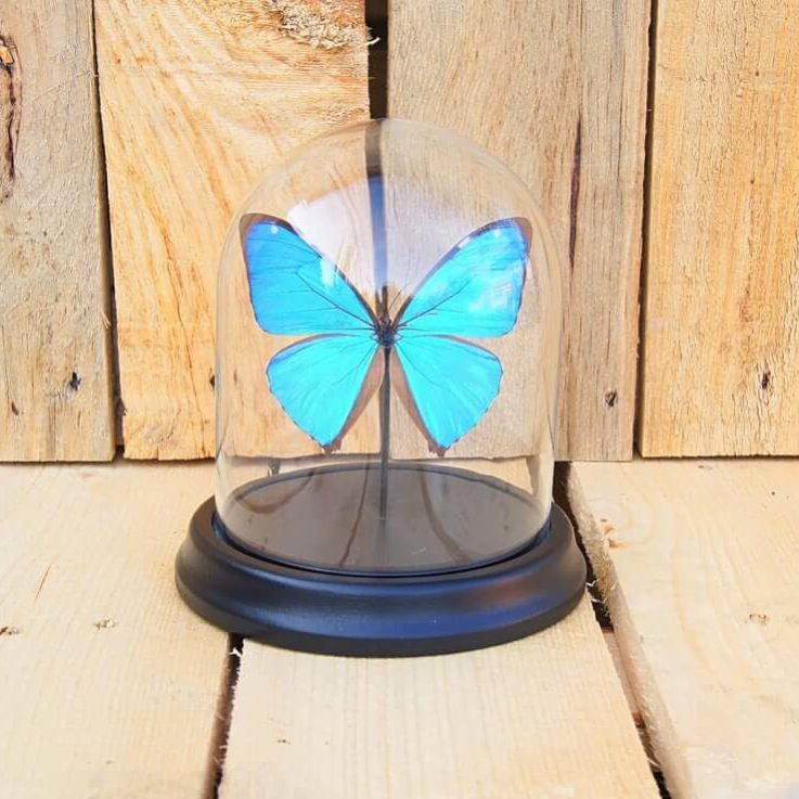 Morpho Aega butterfly in bell jar, Butterfly Box Frame taxidermy entomology nature, beauty insect taxidermy photography
