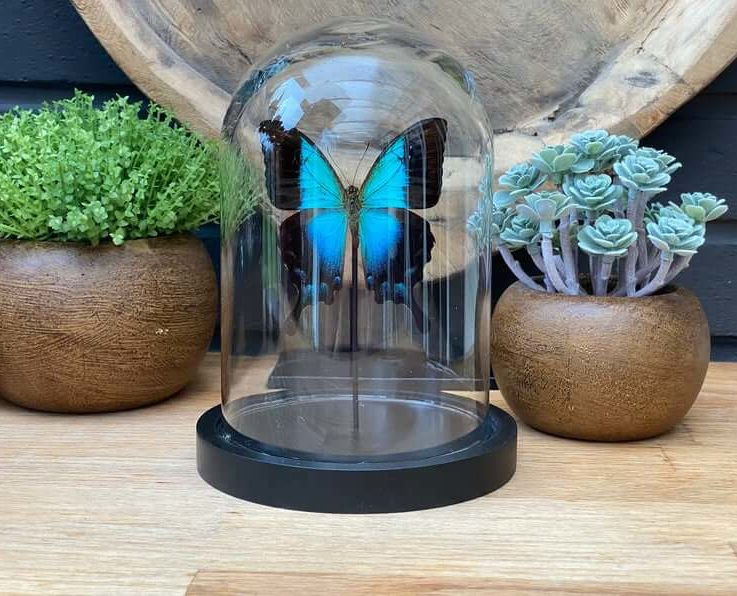 Papilio Lorquianus butterfly in bell jar, Butterfly Box Frame taxidermy entomology nature, beauty insect taxidermy photography