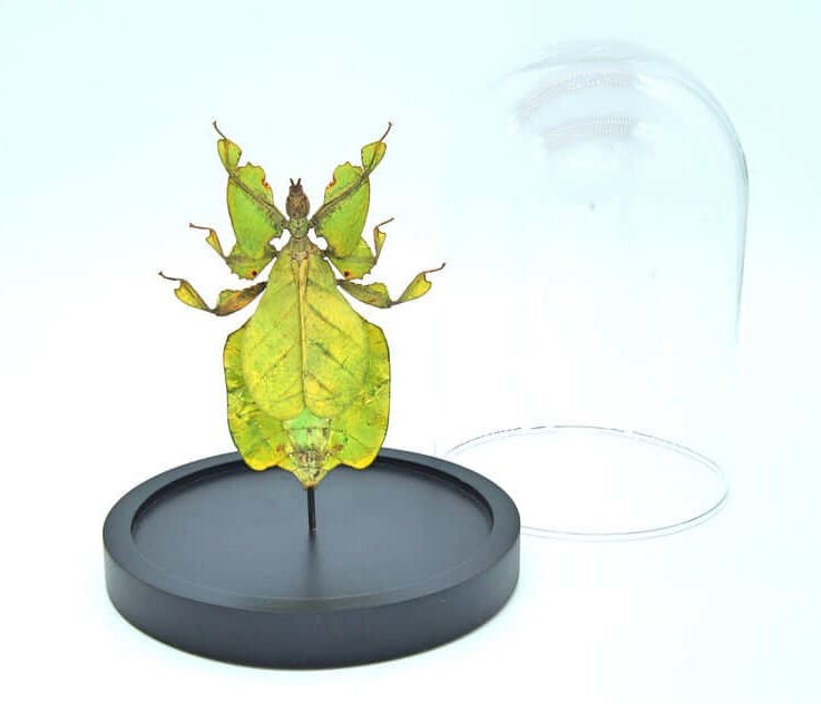 Phyllium Pulchrifolium leaf insect in bell jar, Butterfly Box Frame taxidermy entomology nature, beauty insect taxidermy photography