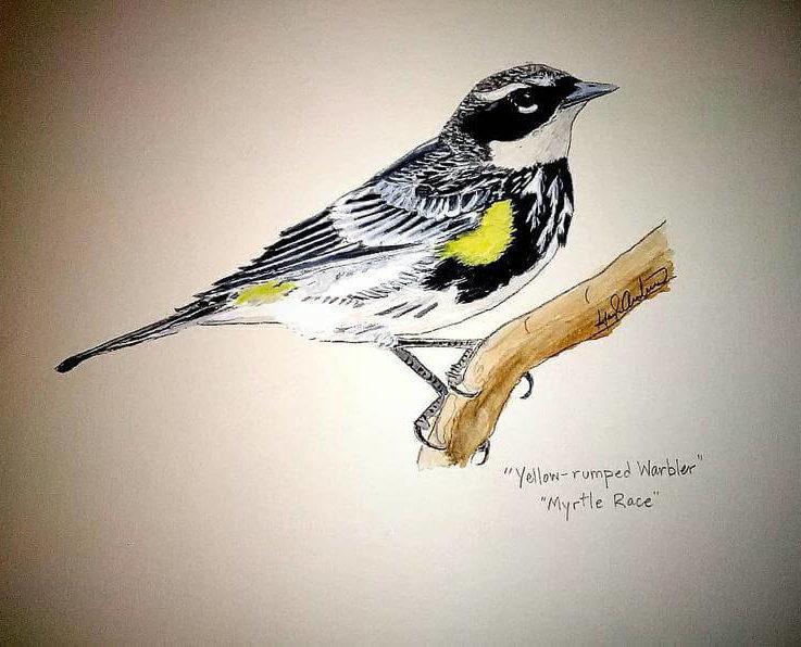 Yellow-rumpted Warbler (Myrtle Race) Print